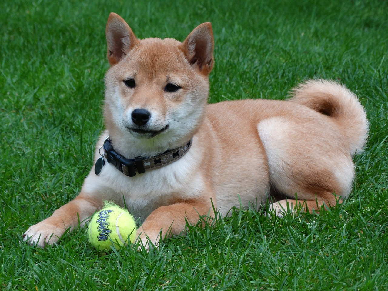 dog, remote access, shiba inu