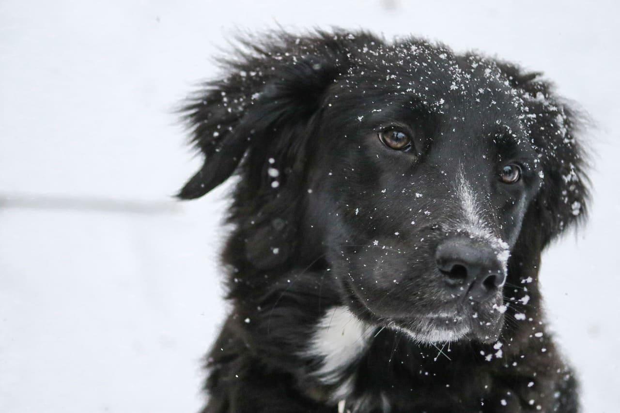 snowflakes, labrador retriever, dog