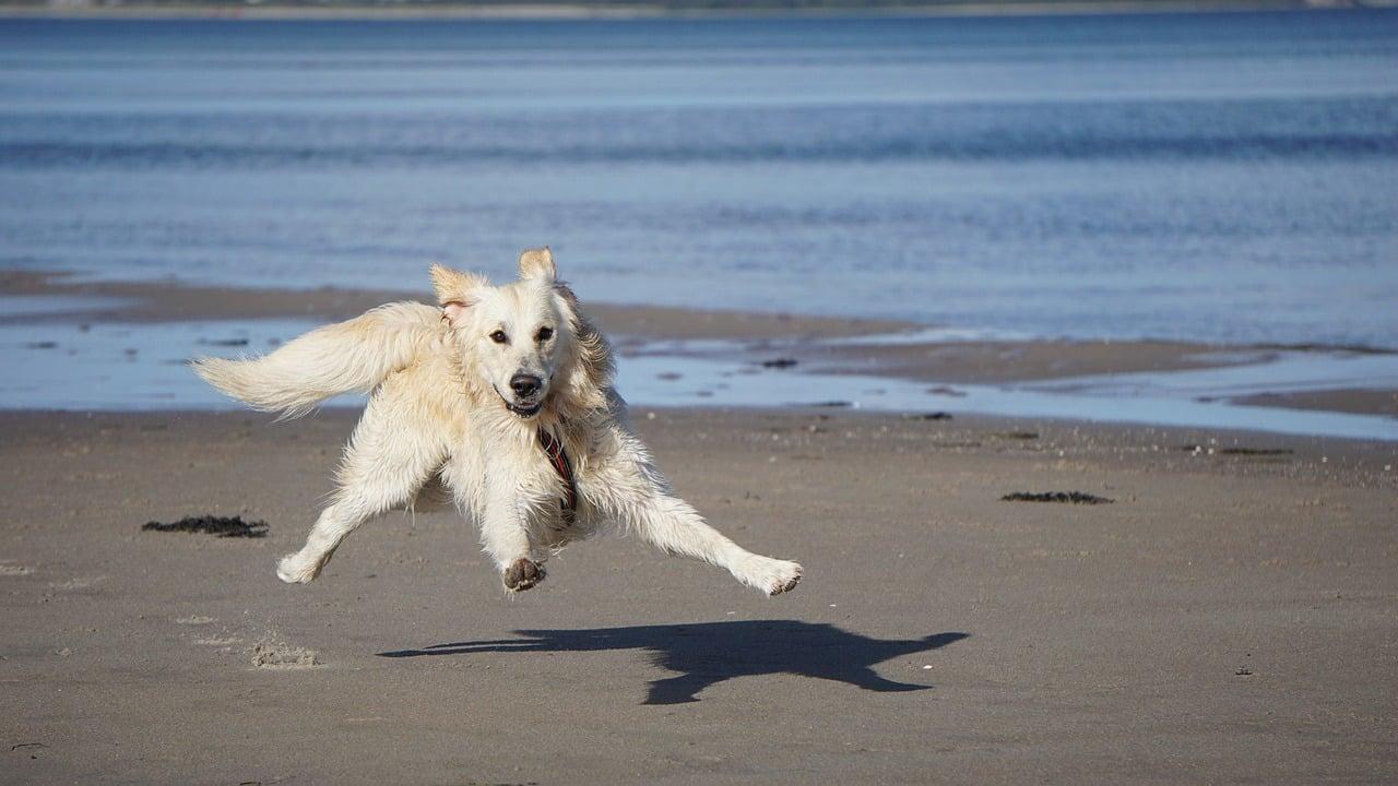 dog, golden retriever, pet